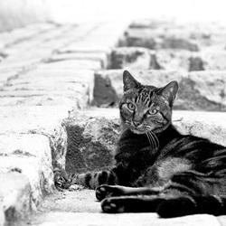 Le chat Française