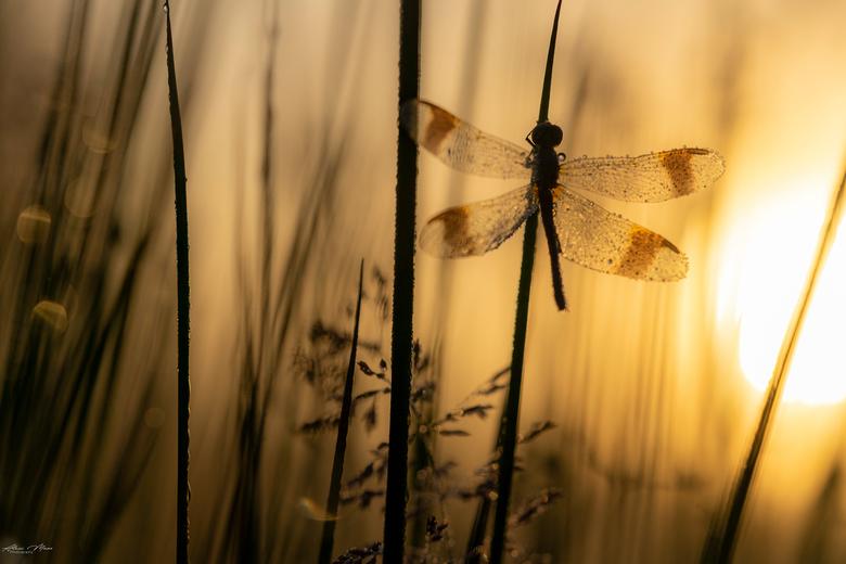 Bandheidelibel - Silhouet van een bandheidelibel, in het mooie gouden licht