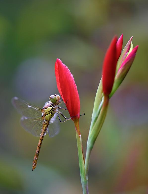Heidelibel - Iedereen weer bedankt voor alle leuke en leerzame reacties op mijn vorige foto.<br /> <br /> De laatste paar dagen weer een paar uitslu