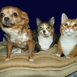 Mijn Chihuahua Vicky + mijn katjes Lulu & Bram, 6-3-2016.