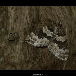 Camouflage vlinder