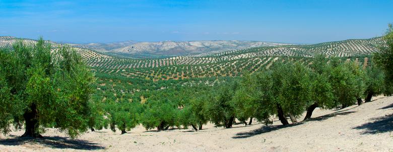 """pano van olijfboomgaard - Dag 27:<br /> <br /> uitzicht over de olijfboomgaarden.<br /> <br /> zie meer:<br /> <a href=""""https://opdetandemdoorpor"""