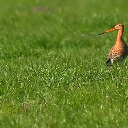 Grutto in het gras....