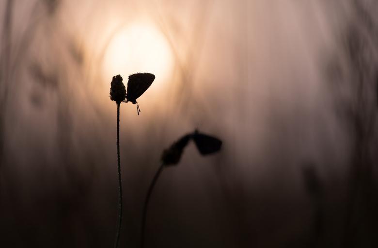 Foggy sunrise - Op mijn veldje is de tweede generatie Icarusblauwtjes ten tonele verschenen. Samen met een mooie zonsopgang en grondmist, was het gist