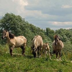 Konikpaarden met veulen
