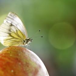 appeltje vlindertje