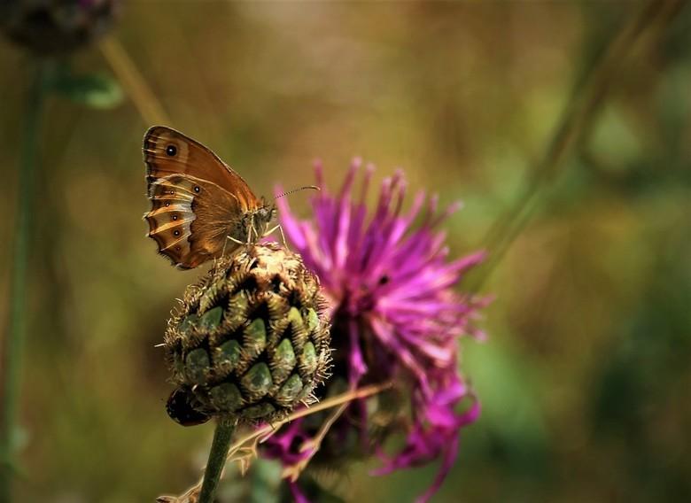 bleekhooibeestje (1) - helaas is het oogje niet mooi scherp, <br /> dit soort heb ik ook maar een keer gezien.
