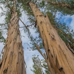 Eucalypthus bomen USA