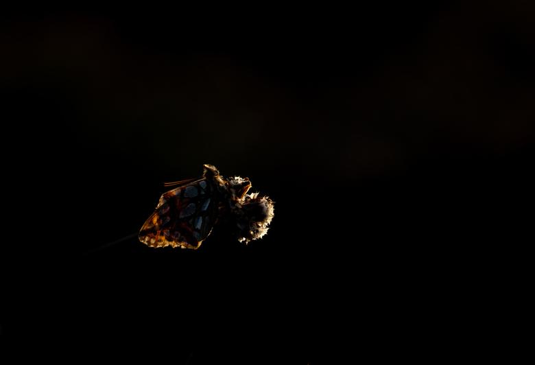 In the spotlight - Deze parelmoer zocht beschutting achter een heuvel om de nacht door te brengen. Laatste zonlicht verlichtte nog net het Engels gras