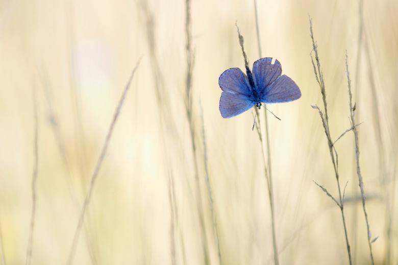 Blauw - Prachtig gezicht als je de blauwtjes 's morgens ziet opwarmen met de vleugels open.