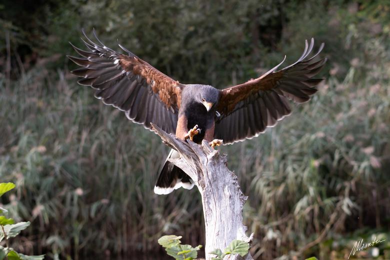 Woestijnbuizerd - Woestijnbuizerd Keno bij de vogelshow van Topvogel in Diessen