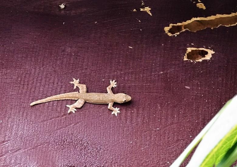 Mijn Reizen - Een veel voorkomende salamander  ze komen vooral binnen in huis tegen de muren   als je  zijn staart vasthoud breekt die af  als kind wa
