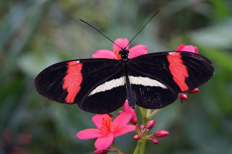 Vlinder 1 - Vlinder in de vlindertuin te Diergaarde blijdorp