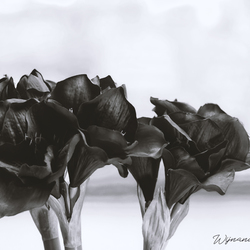 The black side of red flowers?