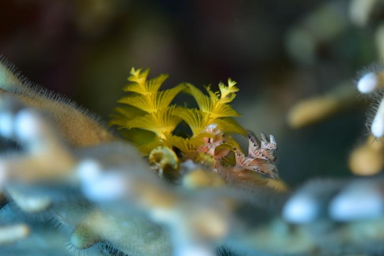 _MUN5080 kokerworm Xmass tree - Nikon D7200 85mm VR macrolens dikelite onderwaterhuis met 2 dikelite DS160 flitsers.<br /> <br /> kokerworm of Xmass