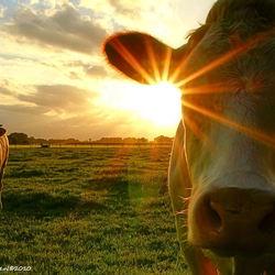 schitterende koe