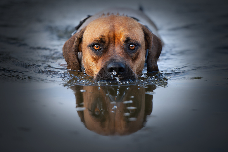 Hond of krokodil? -
