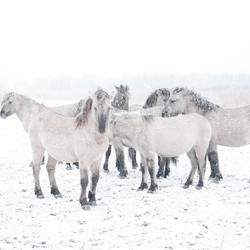 Paarden in de OVP