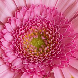 Macro roze