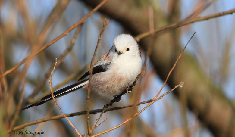 Staartmees  - Eindelijk is het mij gelukt om dit ADHD vogeltje eens goed op de foto te krijgen !!