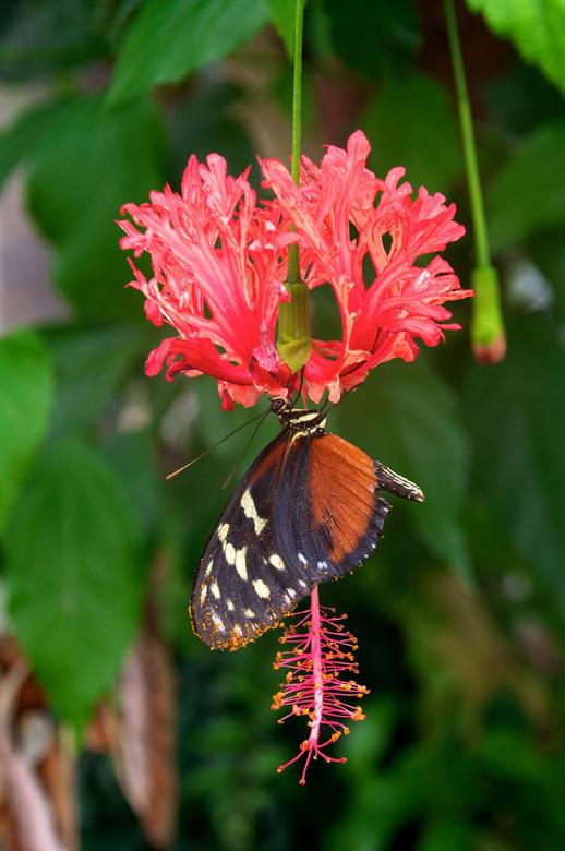 Vlinder1 - Mooie vlinder in tropische vlindertuin.