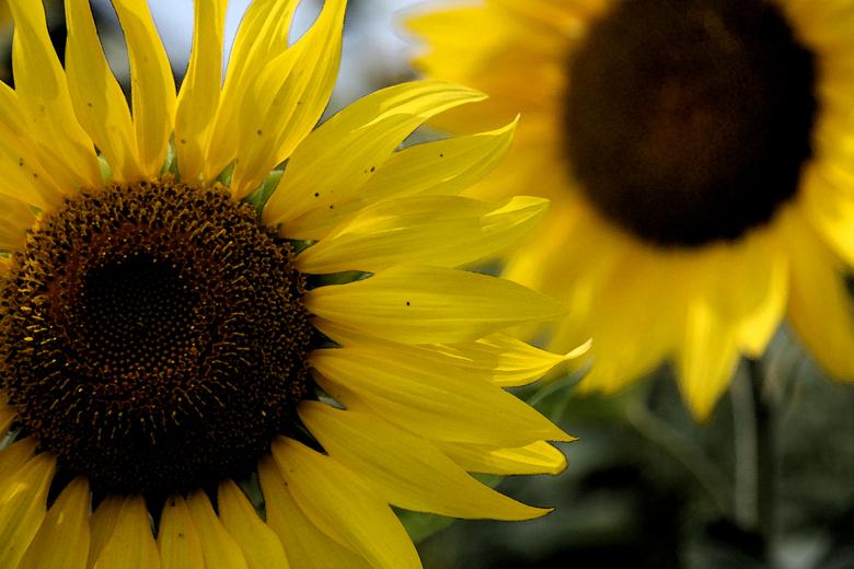 Zonnenbloemen - Zonnenbloemen bewerkt