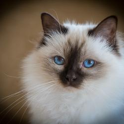 Suela's blauwe ogen....................Heilige Birmaan