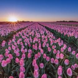 Laatste licht op een tulpenveld...