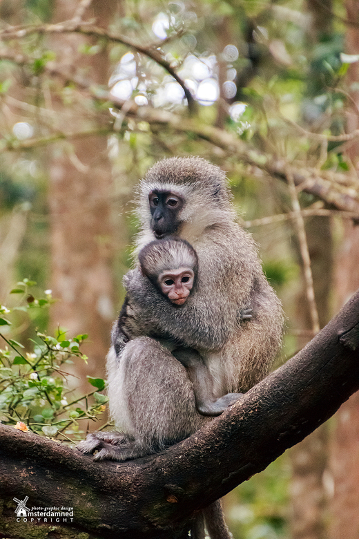 Plettenberg Bay in Zuid Afrika - De vervet, Zuid-Afrikaanse groene meerkat of blauwaap (Chlorocebus pygerythrus) in Monkeyland. Monkeyland is een apen