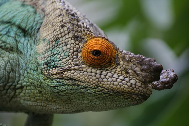 Kameleon - Kameleon in Madagaskar.