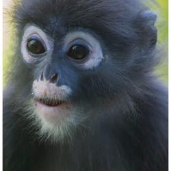 zwart aapje