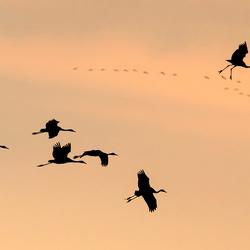 Kraanvogels voor de landing