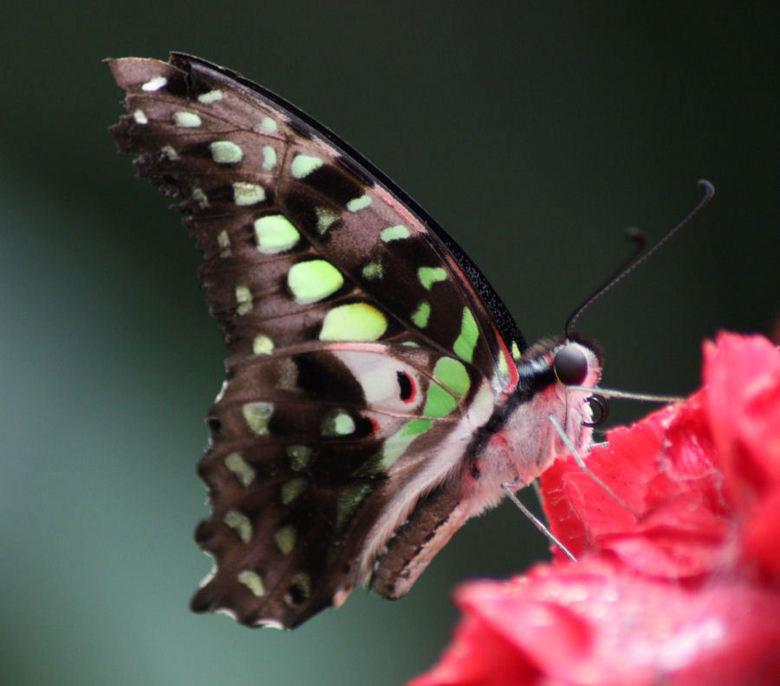 vlinder in vl.tuin Buchholz i.d Nordheide-Seppensen-Dld - Alaris, een mooi schmetterlingspark in Nrd. Duitsland