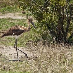 Zadelbekooievaar (Zuid Afrika)