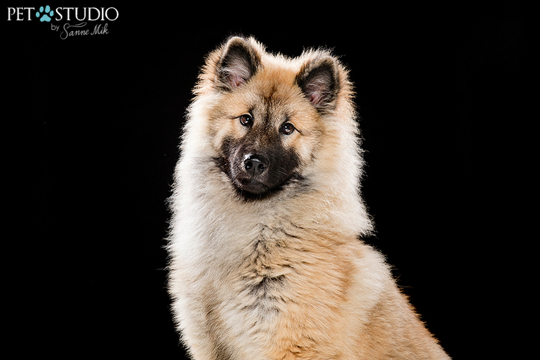Eurasier puppy -
