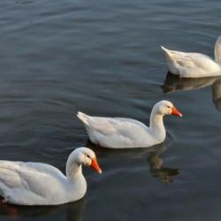 Vogel serie 101. Formatie zwemmen.