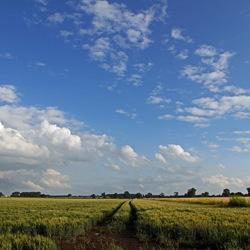 spoor in korenveld