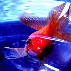 Mijn lieve goudvis