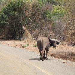 Buffel Zuid Afrika
