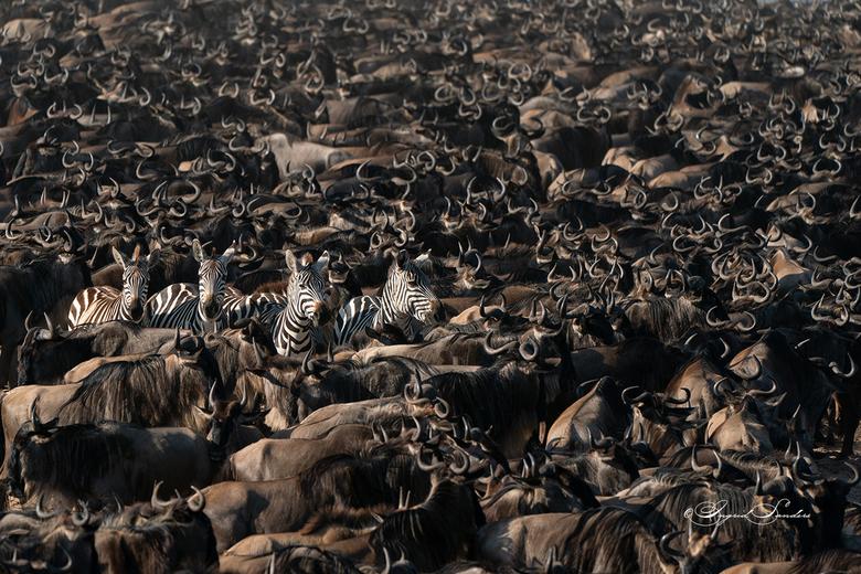 The great Migration - Een grote kudde wildebeesten en een paar zebra's,  klaar om de rivier over te steken, Tanzania.