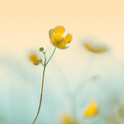 Pastel Buttercup...