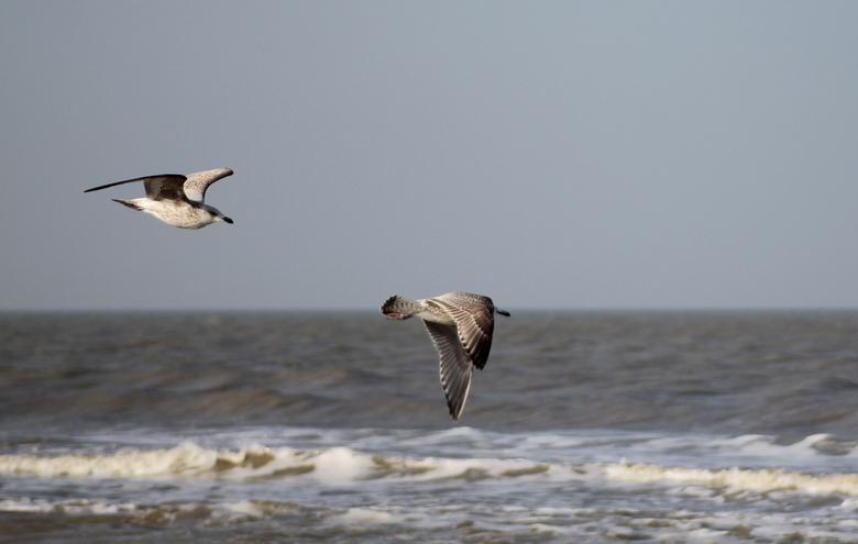 Meeuwen in vlucht -