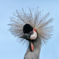 Gekroonde kraanvogel.