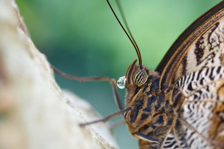 De druppel - In Artis is de vlindertuin altijd een leuk onderdeel om even de macrolens tevoorschijn te halen. Je zou er gemakkelijk uren kunnen doorbr