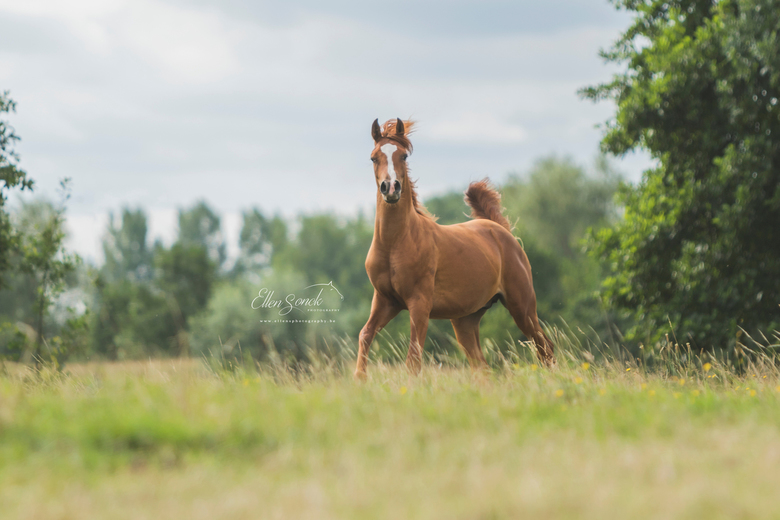 Deovolente, Arabian horse