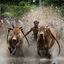 Stierenrace Sumatra