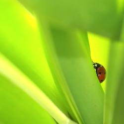 Lieveheersbeesje in eigen tuin