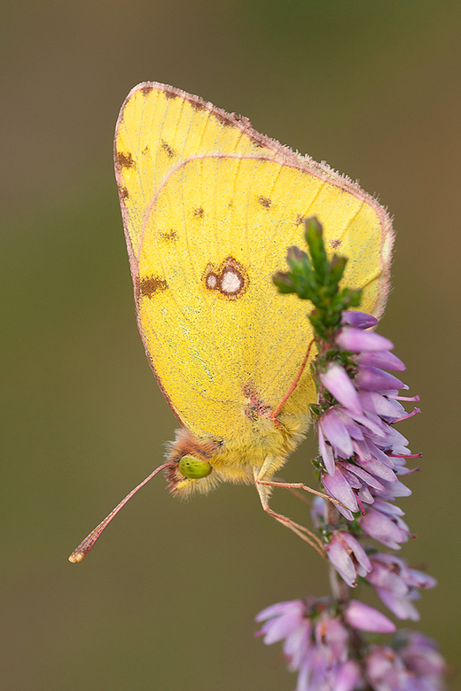 Gele Luzernevlinder - Vorig weekend deze prachtige vlinder kunnen vastleggen.<br /> <br /> Iedereen een fijn weekend gewenst en bedankt voor de mooi
