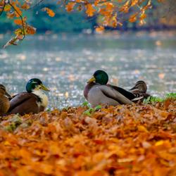 Eenden in de herfst