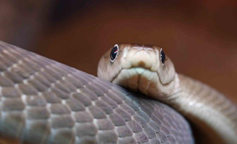 fast and furious - De zwarte mamba wordt algemeen beschouwd als de snelste en meest dodelijke slang op aarde. Het gif van de mamba kan een volwassen m